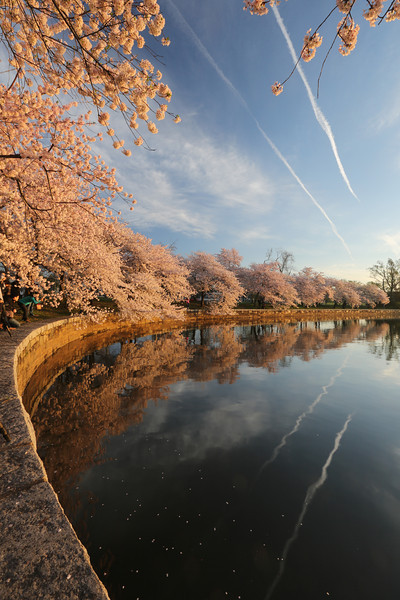 Cherry Blossom, Washington DC